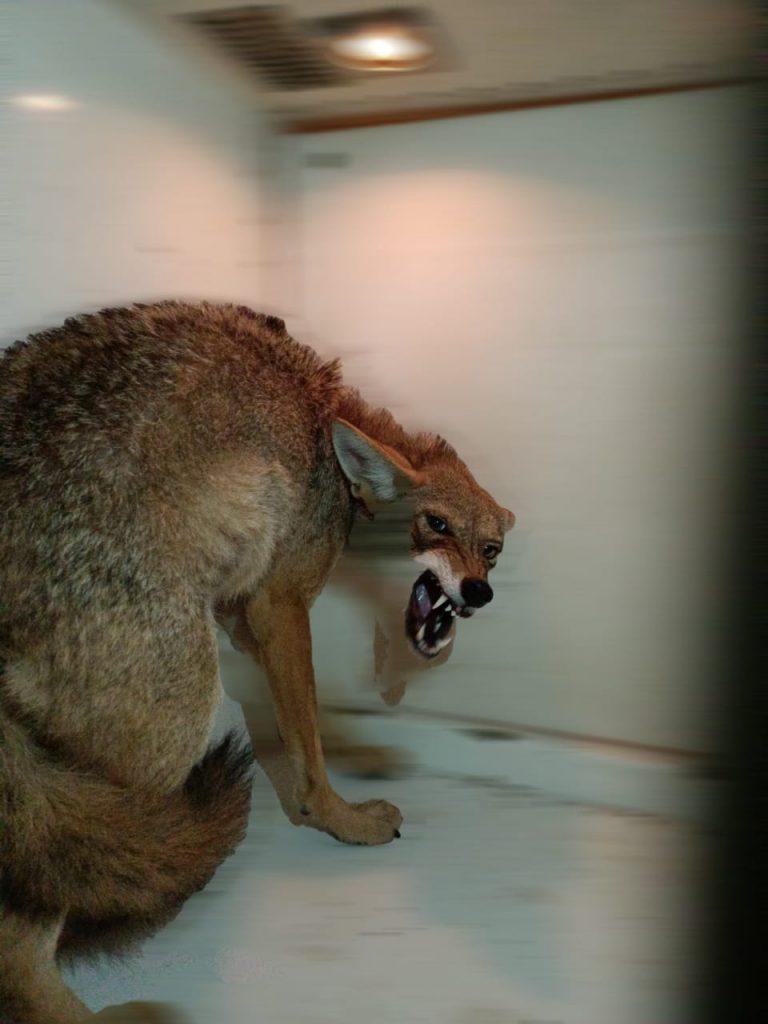 Personal de Bomberos Zamora y Protección Civil Municipal lograron asegurar y liberar un Coyote